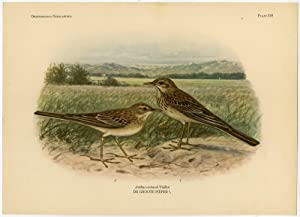 Antique Print-RICHARD'S PIPIT-ANTHUS RICHARDI-PLATE 329-Van Oort-1922