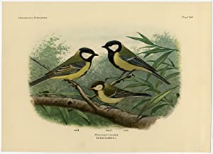 Antique Print-GREAT TIT-PARUS MAJOR-PLATE 340-Van Oort-1922