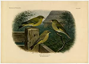 Antique Print-EUROPEAN GREENFINCH-CHLORIS CHLORIS-PLATE 373-Van Oort-1922