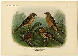 Antique Print-ORTOLAN BUNTING-EMBERIZA HORTULANA-PLATE 391-Van Oort-1922