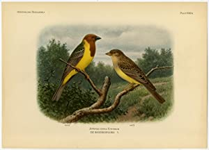 Antique Print-RED HEADED BUNTING-EMBERIZA BRUNICEPS-PLATE 388A-Van Oort-1922