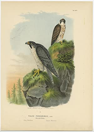 Antique Print-BIRD OF PREY-PEREGRINE FALCON-PEREGRINUS-MALE-Von Riesenthal-1894