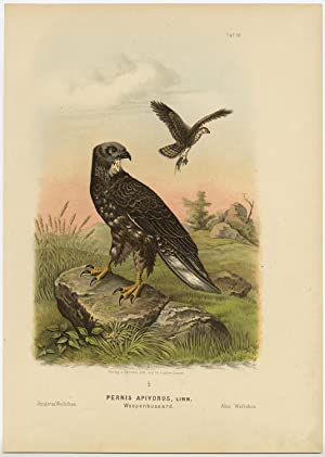 Antique Print-BIRD OF PREY-EUROPEAN HONEY BUZZARD-FEMALE-Von Riesenthal-1894