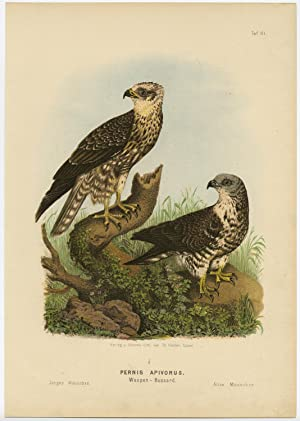 Antique Print-BIRD OF PREY-EUROPEAN HONEY BUZZARD-MALE-Von Riesenthal-1894