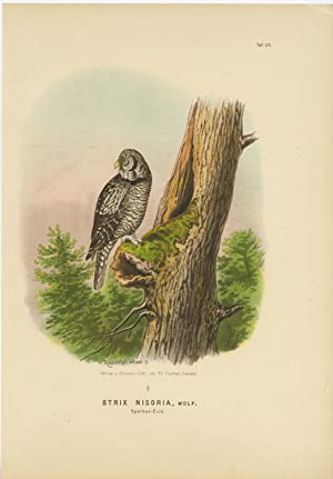 Antique Print-BIRD OF PREY-NORTHERN HAWK OWL-SURNIA ULULA-Von Riesenthal-1894