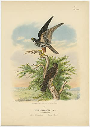 Antique Print-BIRD OF PREY-EURASIAN HOBBY-FALCO SUBBUTEO-Von Riesenthal-1894