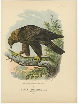 Antique Print-BIRDS OF PREY-GOLDEN EAGLE-AQUILA CHRYSAETOS-A-Von Riesenthal-1894