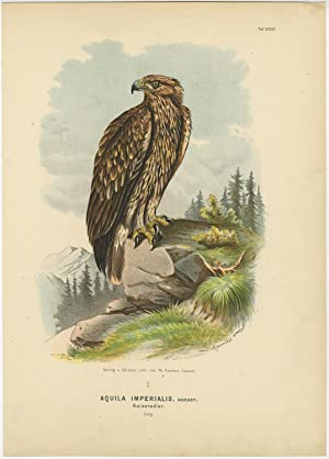 Antique Print-BIRDS-EASTERN IMPERIAL EAGLE-AQUILA HELIACA-Von Riesenthal-1894