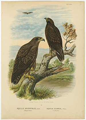 Antique Print-BIRDS OF PREY-STEPPE EAGLE-GREATER SPOTTED-Von Riesenthal-1894