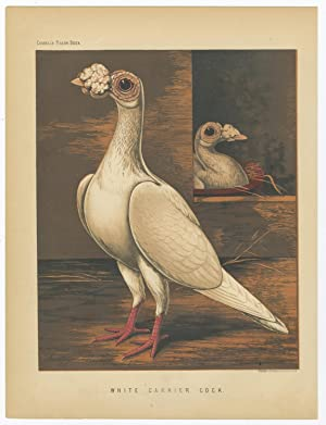 Antique Print-PIGEONS-WHITE CARRIER COCK-Cassell-1874