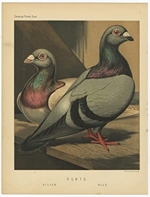 Antique Print-PIGEONS-BLUE AND SILVER RUNTS-Cassell-1874
