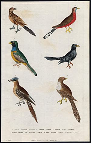 Antique Print-GREAT SPOTTED CUCKOO-GREEN-INDIAN BLACK-LITTLE-Martyn-1785