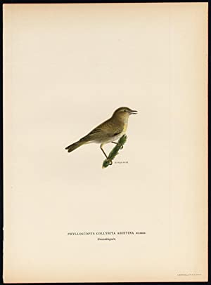 Antique Print-PHYLLOSCOPUS COLLYBITA-COMMON CHIFFCHAFF-Von Wright-1917