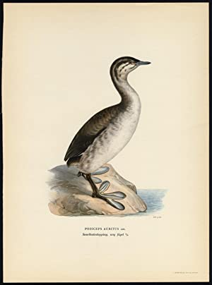 Antique Print-PODICEPS AURITUS-HORNED GREBE-YOUNG-Von Wright-1917