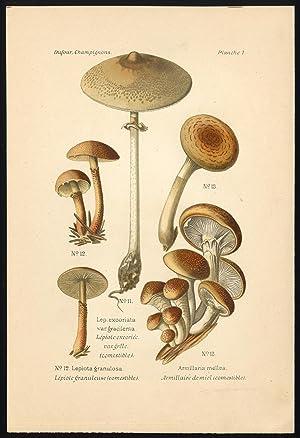 Antique Mushroom Print-MACROLEPOTIA-HONEY FUNGUS-GRANULOSA-Pl. 7-Dufour-1891
