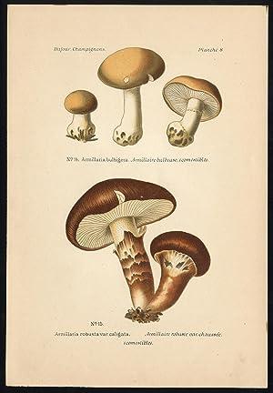 Antique Mushroom Print-HONEY FUNGUS-ARMILLARIA ROBUSTA-Pl. 8-Dufour-1891