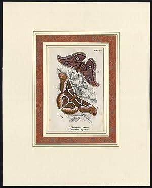 Antique Print-PHILOSAMIA LUNULA-ANTHERAEA MYLITTA-PL. CXV-Kirby-1897