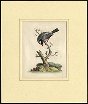 Antique Print-LONCHURA ORYZIVORA-JAVA SPARROW-LOXIA-PL. 41-Edwards-1740