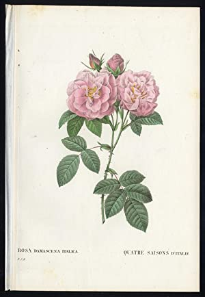Antique Print-ROSA DAMASCENA ITALICA-2, pl. 42-Redoute-Thory-1828