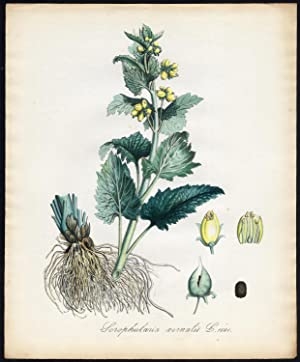 Antique Print-SCROPHULARIA VERNALIS-YELLOW FIGWORT-Sepp-Flora Batava-1800