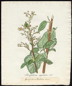 Antique Print-SCROPHULARIA AQUATICA-WATER FIGWORT-Sepp-Flora Batava-1800
