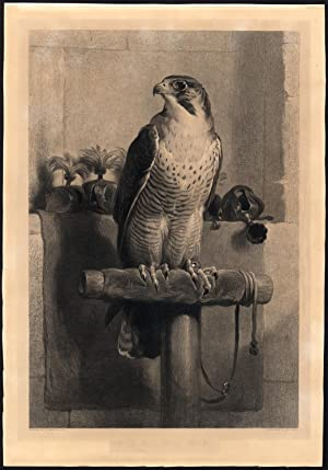 Antique Master Print-THE HAWK-FALCONRY-Lewis-Landseer-1843