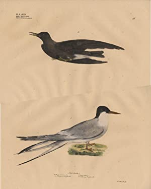 Antique Print-BLACK TERN-COMMON TERN-TERN-Goldfuss-1824