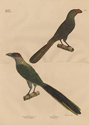 Antique Print-MALKOHA-SMOOTH-BILLED ANI-Goldfuss-1824
