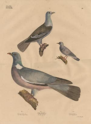 Antique Print-PIGEON-DOVE-COLUMBO-Goldfuss-1824