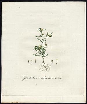 Antique Print-MARSH CUDWEED-GNAPHALIUM ULIGINOSUM-429-Flora Batava-Sepp-1800