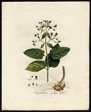 Antique Print-SCROPHULARIA NODOSA-FOGWORT-WOODLAND-107-Flora Batava-Sepp-1800