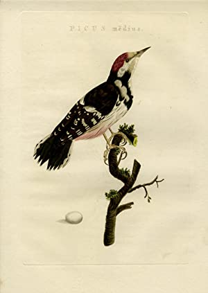 Antique Print-MIDDLE SPOTTED WOODPECKER-DENDROCOPTES MEDIUS-Nozeman-Sepp-1770