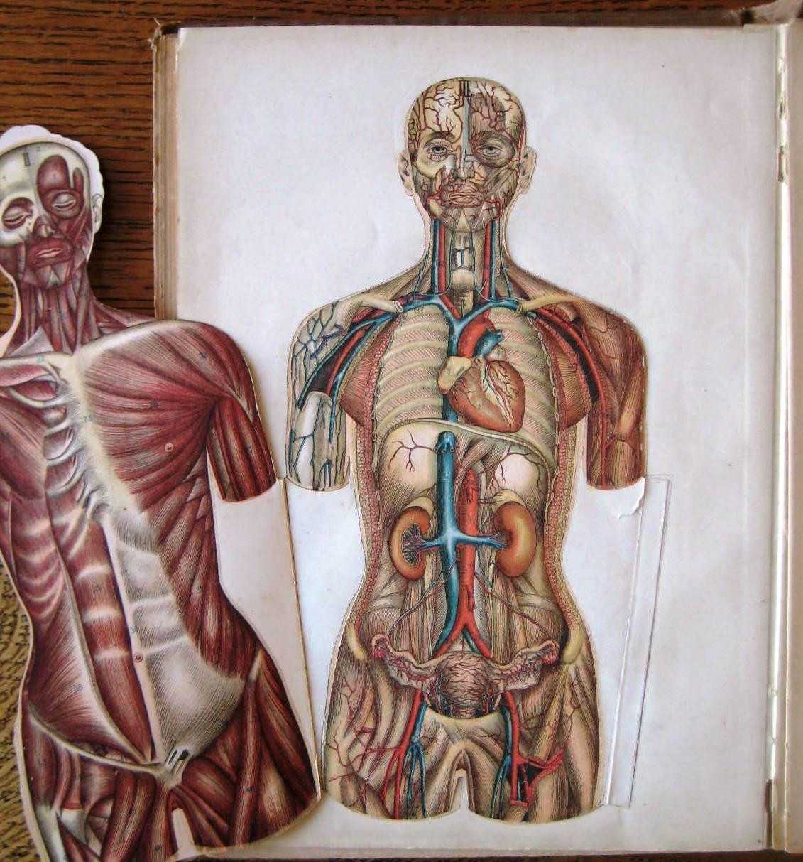 Anatomie Du Corps Humain anatomie élémentaire du corps humain par rabaud etienne: paris