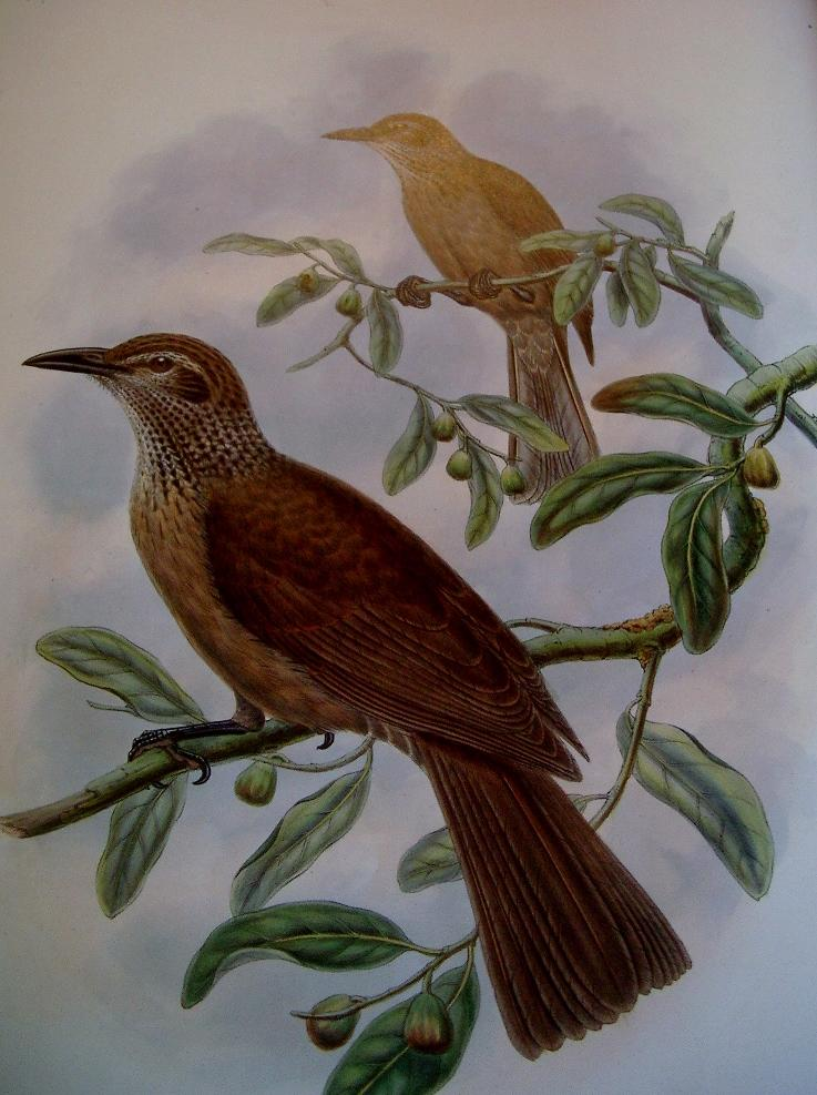 THE BIRDS OF NEW GUINEA and the Adjacent