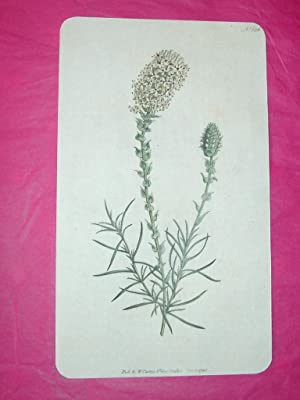 ORIGINAL HAND-COLOURED COPPER ENGRAVING - Selago ovata (Oval-Headed Selago) FROM CURTIS'S BOTANIC...
