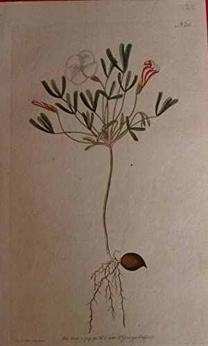 ORIGINAL HAND-COLOURED COPPER ENGRAVING - Oxalis versicolor (Striped-Flower