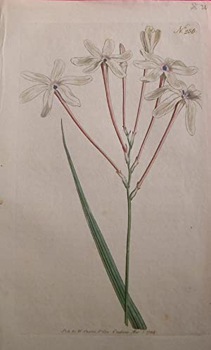ORIGINAL HAND-COLOURED COPPER ENGRAVING - Ixia Longiflora. (Long-Flower'd Ixia) FROM CURTIS'S BOT...