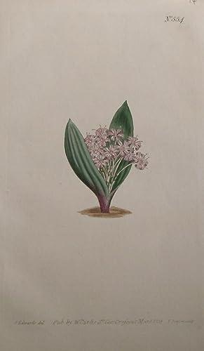 ORIGINAL HAND-COLOURED COPPER ENGRAVING - Massonia ensifolia (Trumpet-Flowered massonia) FROM ...