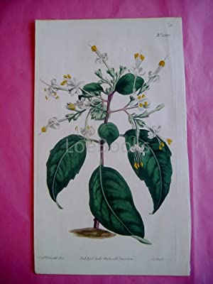 ORIGINAL HAND-COLOURED COPPER ENGRAVING - Clerodendrum Tomentosum (Downy Clerodendrum, Cumberland...