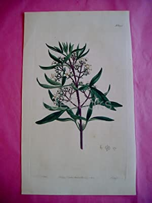 ORIGINAL HAND-COLOURED COPPER ENGRAVING - Zieria Smithii (Lanceolate Zieria)- FROM CURTIS'S BOTAN...