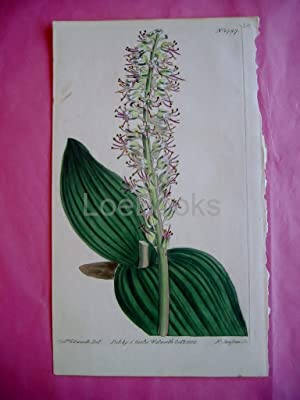 ORIGINAL HAND-COLOURED COPPER ENGRAVING - Lachenalia Nervosa (Nerved-Leaved Lachenalia)- FROM CUR...