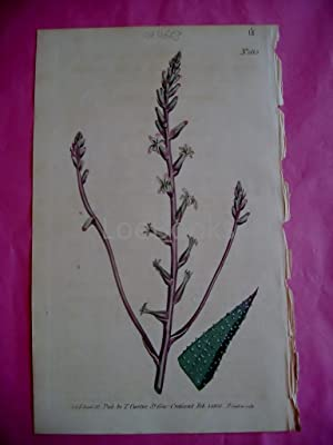 ORIGINAL HAND-COLOURED COPPER ENGRAVING - Aloe Margaritifera (Middle-Sized Pearl-Leaved Aloe)- FR...