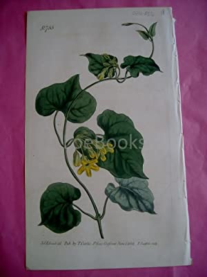 ORIGINAL HAND-COLOURED COPPER ENGRAVING - Pergularia Minor (West-Coast Creeper)- FROM CURTIS'S BO...