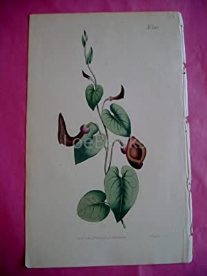 ORIGINAL HAND-COLOURED COPPER ENGRAVING - Aristolochia Glauca (Glaucous-Leaved Birth-Wort)- FROM ...