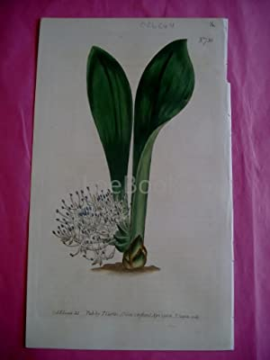 ORIGINAL HAND-COLOURED COPPER ENGRAVING - Massonia Angustifolia (Sweet-Scented Massonia)- FROM CU...