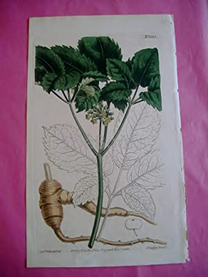ORIGINAL HAND-COLOURED COPPER ENGRAVING - Panax Quinquefolia (Five-Leaved Panax, Ginseng)- FROM C...