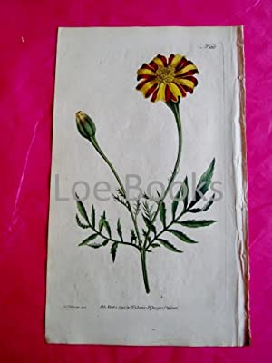 ORIGINAL HAND-COLOURED COPPER ENGRAVING - Tagetes patula (Spreading Targetes, French Marigold) FR...