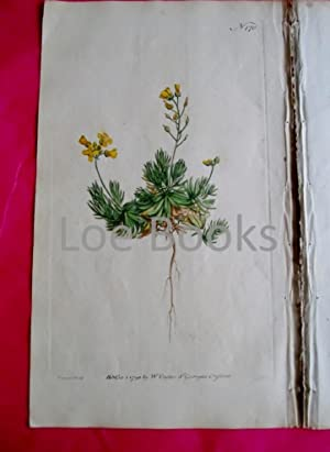 ORIGINAL HAND-COLOURED COPPER ENGRAVING - Draba aizoides (Sengreen Draba, Whitlow-Grass) FROM CUR...