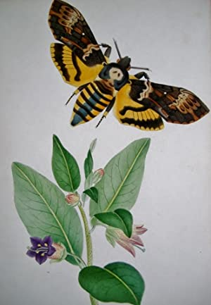 ILLUSTRATIONS OF BRITISH HAWK MOTHS, AND THEIR LARVAE, (Including the Sesidae.) With Thirty-Six O...