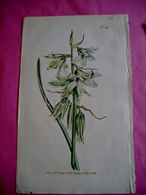 ORIGINAL HAND-COLOURED COPPER ENGRAVING - Ornithogalum nutans [Neopolitan Star of Bethlehem] FROM...